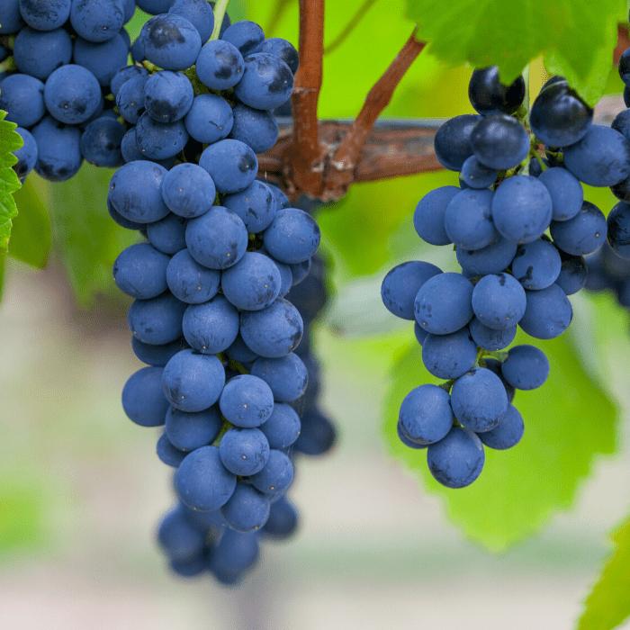 Huber's Winery Tasting in Indiana