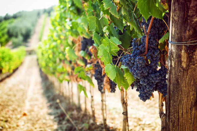 Wine grapes on vine wine travel destination