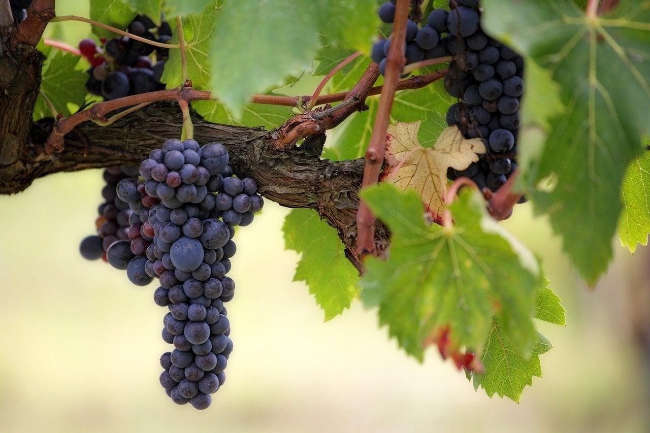 Sannino Vineyard