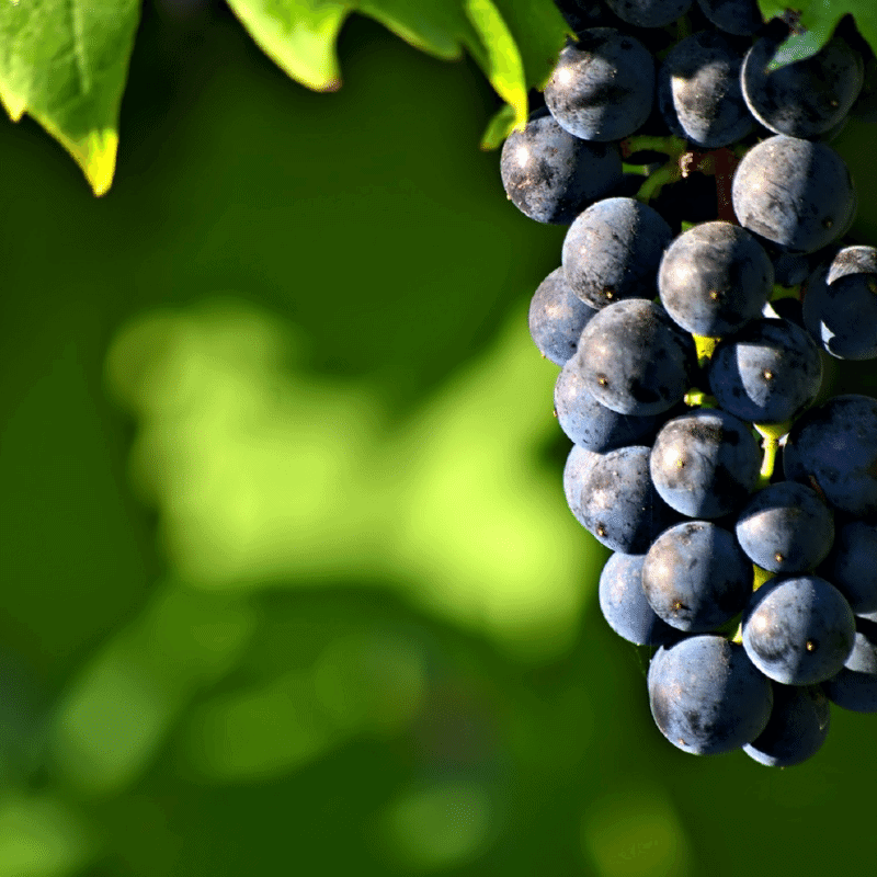 Fresh grapes on the vine